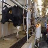 شیر باید از دام سالم تامین شود